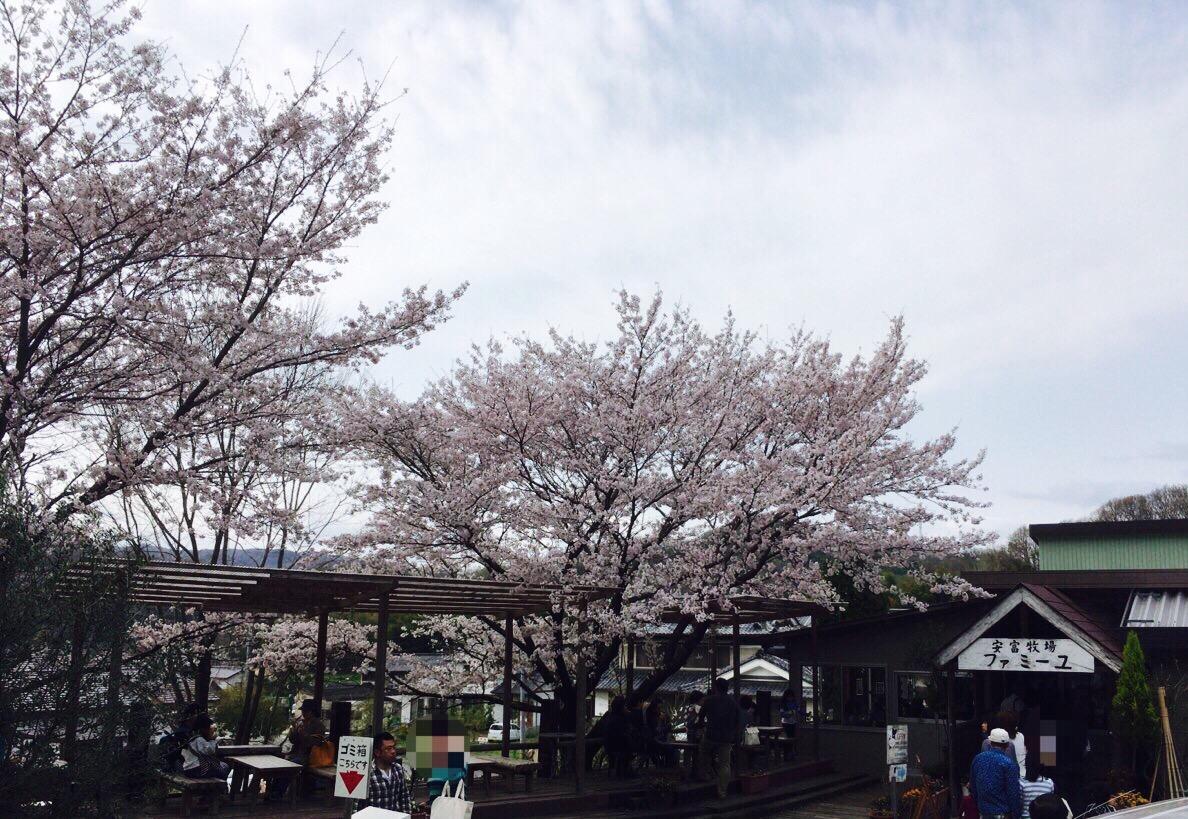 【岡山お花見】ジェラートで有名な総社の「安富牧場」桜とジェラートで子供も大満足